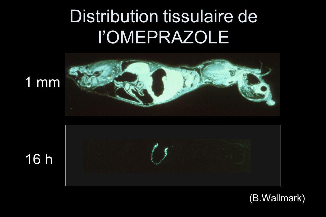 1 mm 16 h (B.Wallmark) Distribution tissulaire de l'OMEPRAZOLE