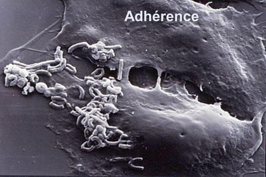 Adhérence