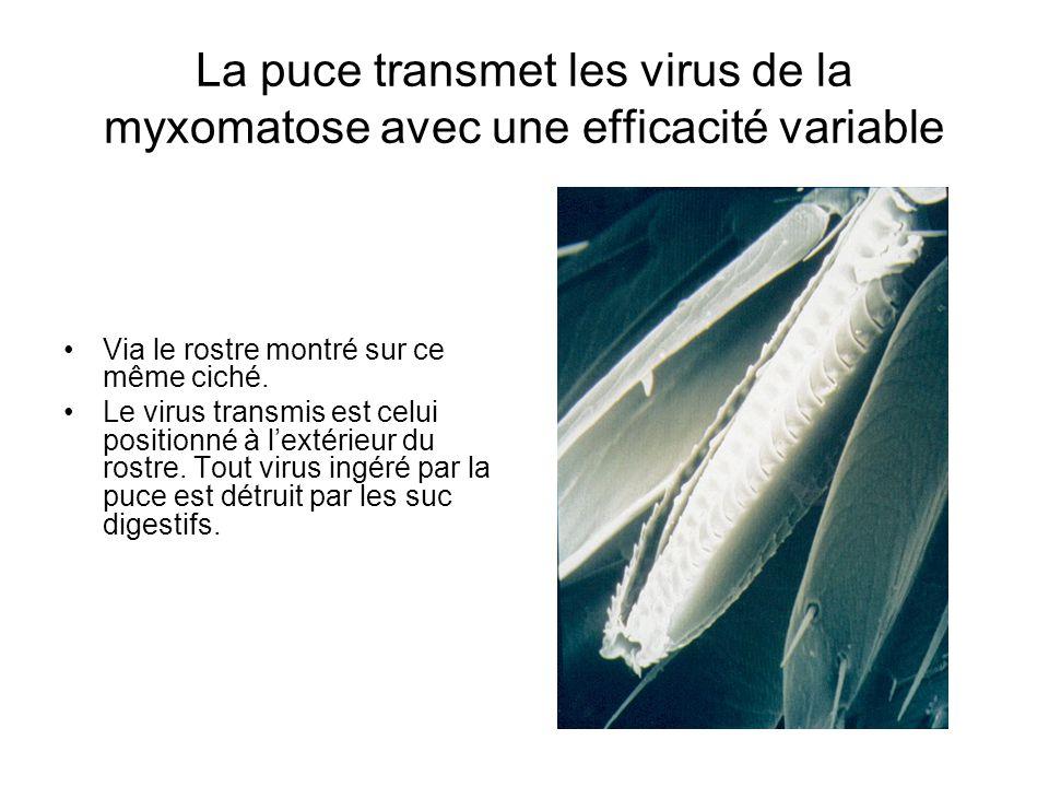 La puce transmet les virus de la myxomatose avec une efficacité variable •Via le rostre montré sur ce même ciché.