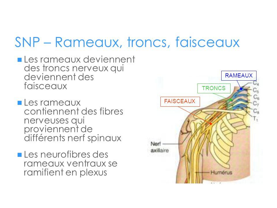 SNP – Rameaux, troncs, faisceaux  Les rameaux deviennent des troncs nerveux qui deviennent des faisceaux  Les rameaux contiennent des fibres nerveus