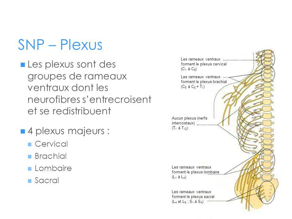 SNP – Plexus  Les plexus sont des groupes de rameaux ventraux dont les neurofibres s'entrecroisent et se redistribuent  4 plexus majeurs :  Cervica