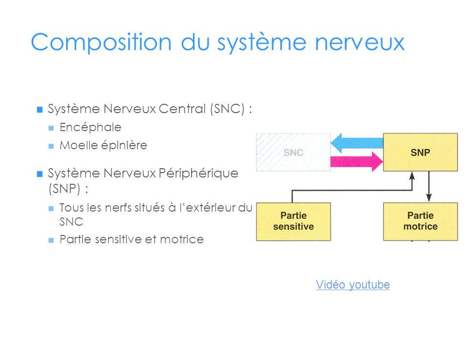 Composition du système nerveux  Système Nerveux Central (SNC) :  Encéphale  Moelle épinière  Système Nerveux Périphérique (SNP) :  Tous les nerfs