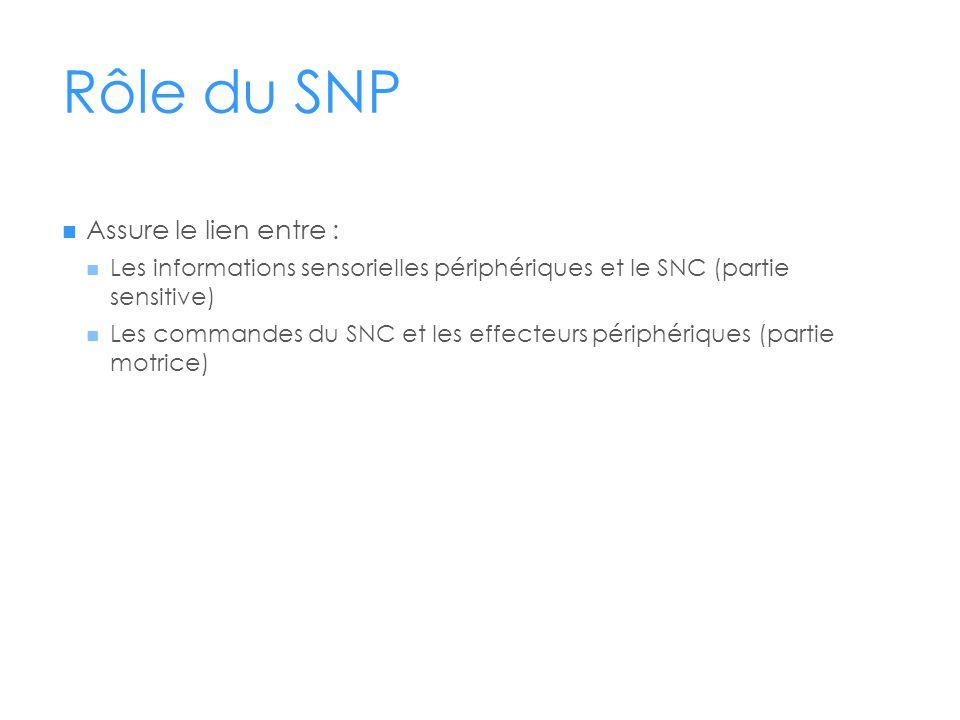 Rôle du SNP  Assure le lien entre :  Les informations sensorielles périphériques et le SNC (partie sensitive)  Les commandes du SNC et les effecteu