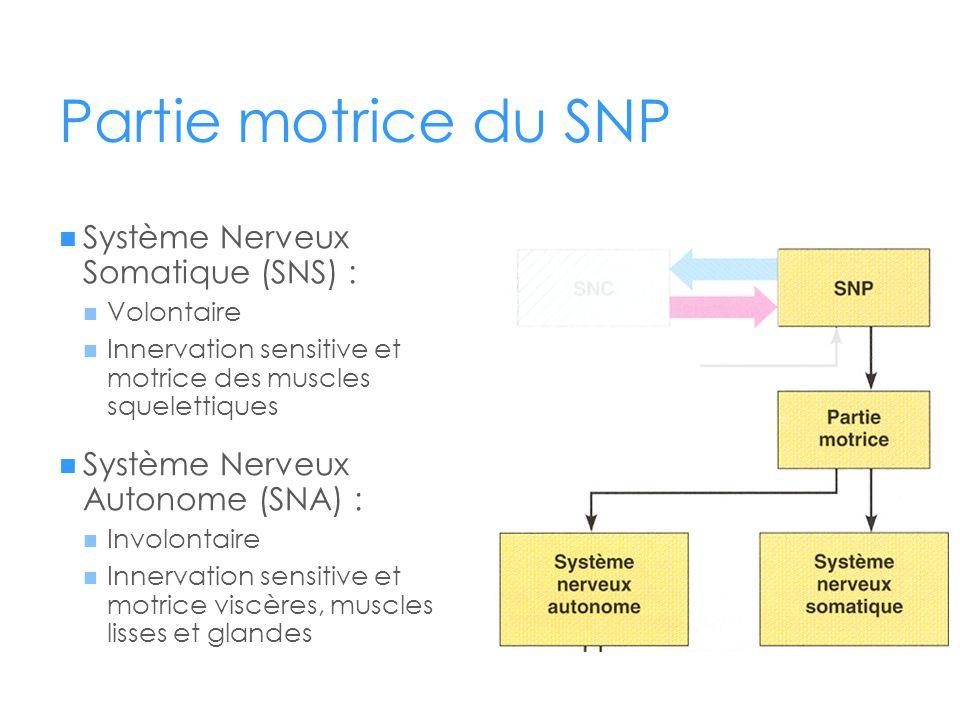 Partie motrice du SNP  Système Nerveux Somatique (SNS) :  Volontaire  Innervation sensitive et motrice des muscles squelettiques  Système Nerveux