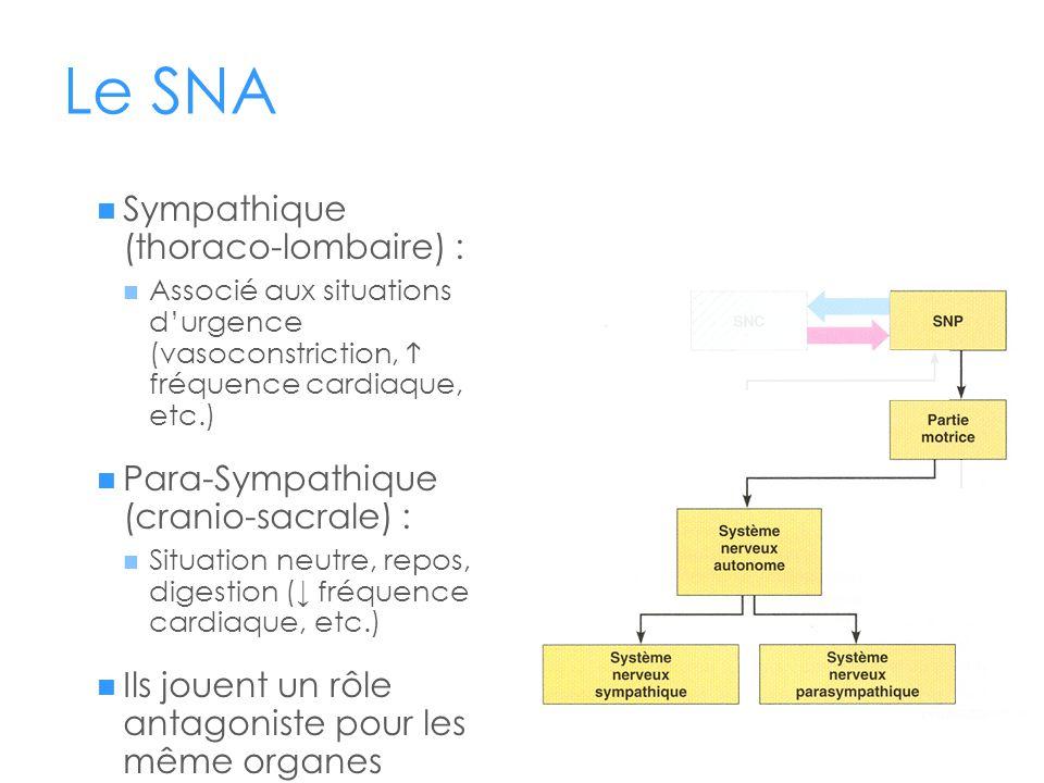 Le SNA  Sympathique (thoraco-lombaire) :  Associé aux situations d'urgence (vasoconstriction,  fréquence cardiaque, etc.)  Para-Sympathique (crani