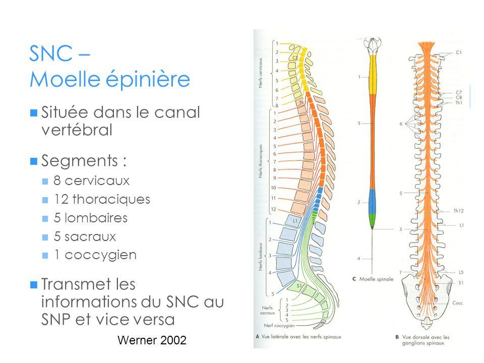 SNC – Moelle épinière  Située dans le canal vertébral  Segments :  8 cervicaux  12 thoraciques  5 lombaires  5 sacraux  1 coccygien  Transmet
