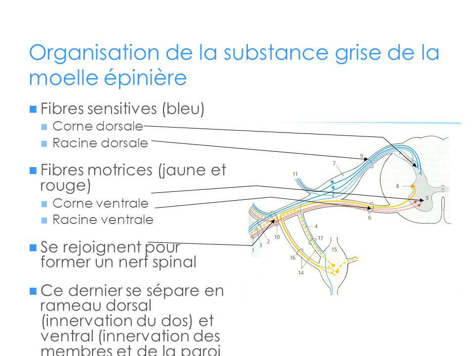 Organisation de la substance grise de la moelle épinière  Fibres sensitives (bleu)  Corne dorsale  Racine dorsale  Fibres motrices (jaune et rouge