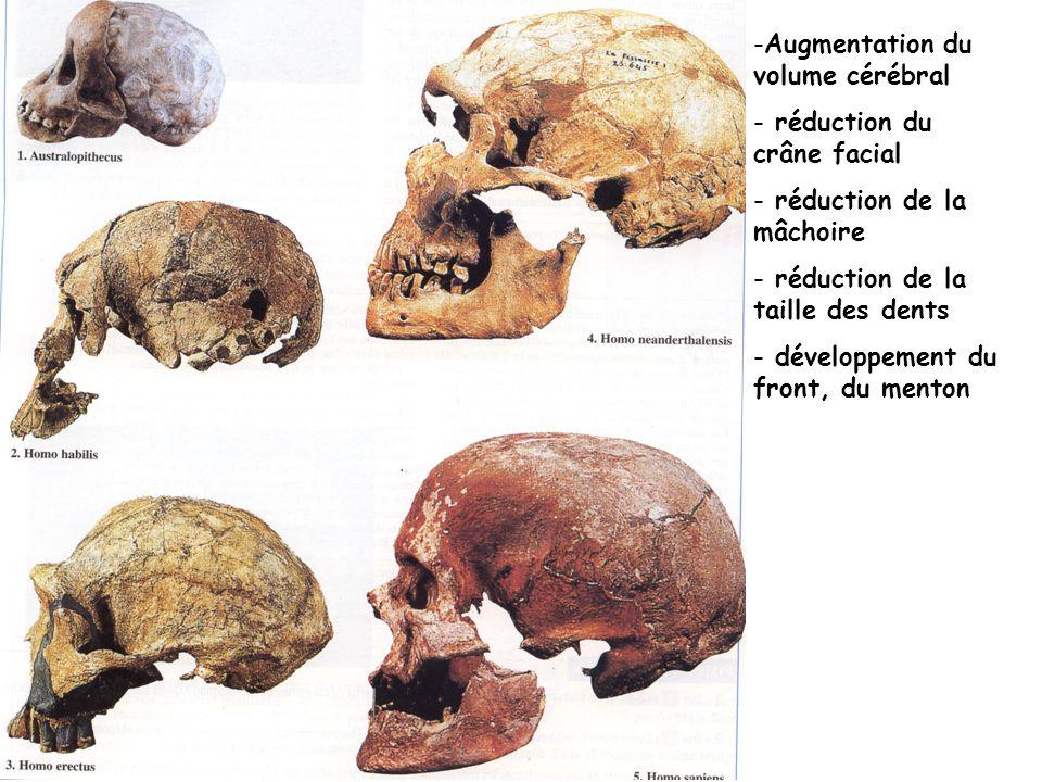 -Augmentation du volume cérébral - réduction du crâne facial - réduction de la mâchoire - réduction de la taille des dents - développement du front, d