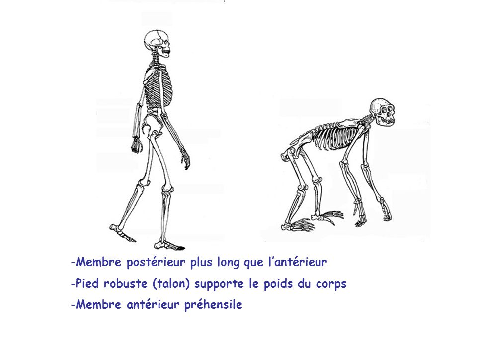 -Membre postérieur plus long que l'antérieur -Pied robuste (talon) supporte le poids du corps -Membre antérieur préhensile