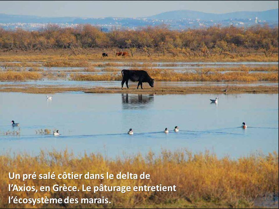 Un pré salé côtier dans le delta de l'Axios, en Grèce. Le pâturage entretient l'écosystème des marais.