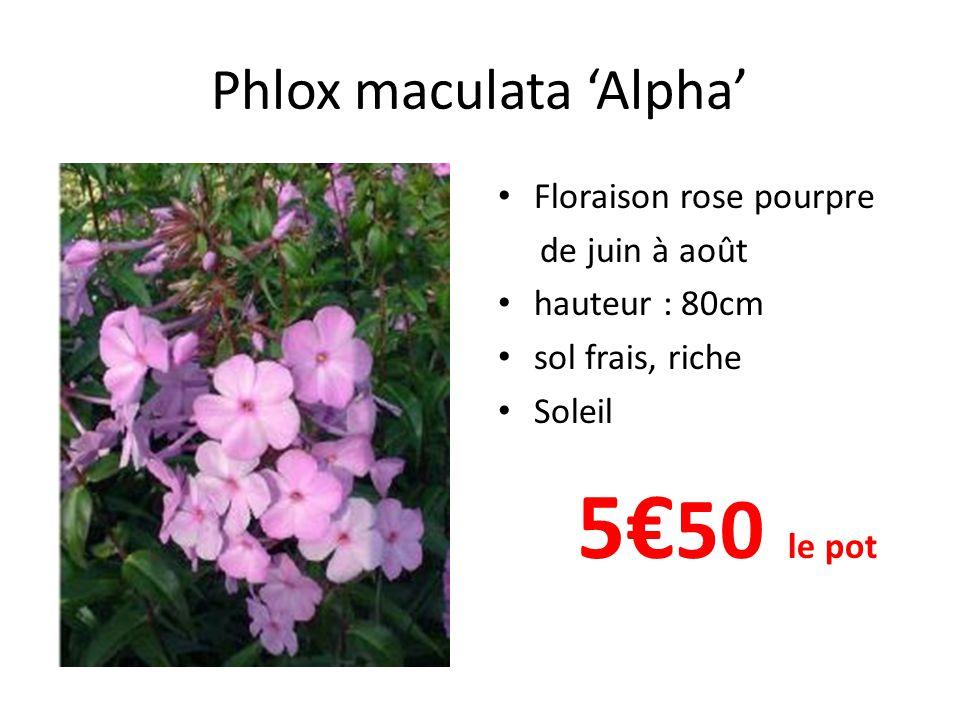 Phlox maculata 'Alpha' • Floraison rose pourpre de juin à août • hauteur : 80cm • sol frais, riche • Soleil 5€ 50 le pot