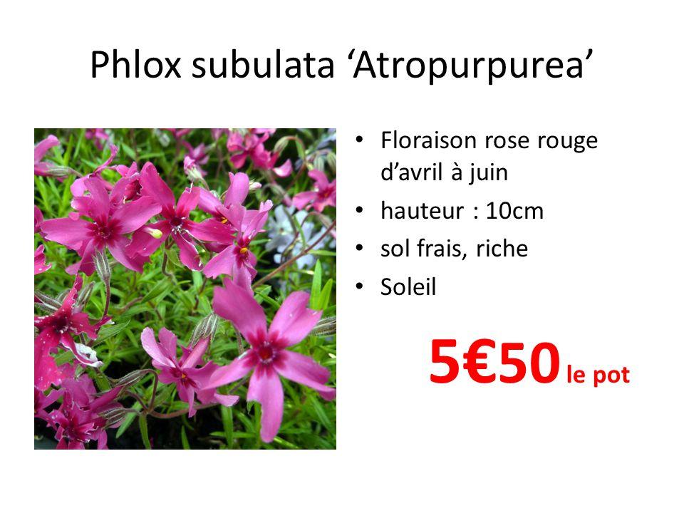 Phlox subulata 'Atropurpurea' • Floraison rose rouge d'avril à juin • hauteur : 10cm • sol frais, riche • Soleil 5€ 50 le pot