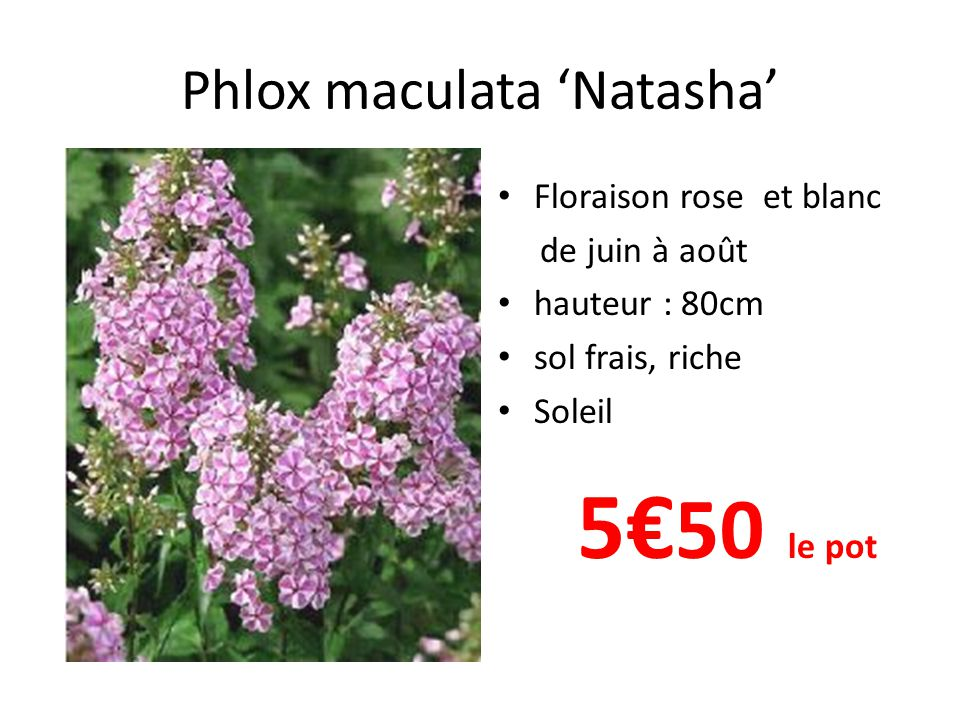 Phlox maculata 'Omega' • Floraison blanc à oeil rose de juin à août • hauteur : 100cm • sol frais, riche • Soleil 5€ 50 le pot