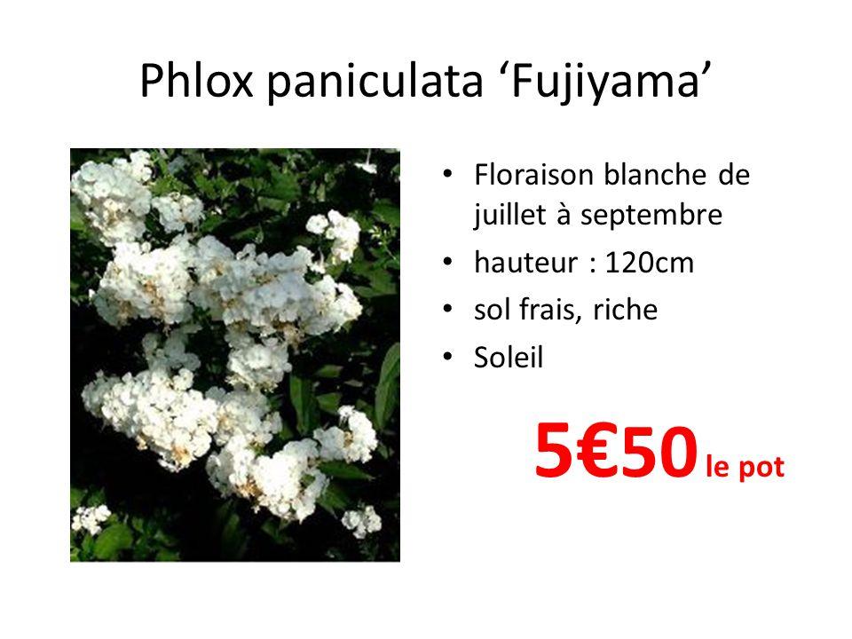 Phlox paniculata 'Fujiyama' • Floraison blanche de juillet à septembre • hauteur : 120cm • sol frais, riche • Soleil 5€ 50 le pot
