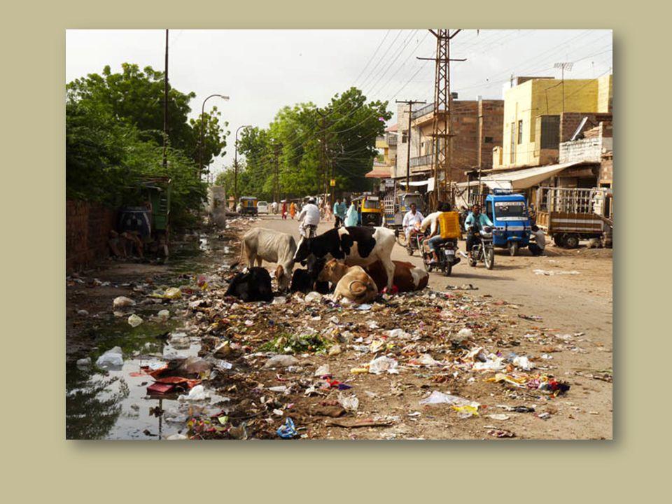 Les vaches vivent dans la rue.Elles mangent les déchets, plastiques et autres.