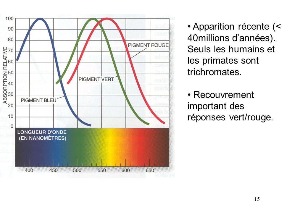 15 • Apparition récente (< 40millions d'années). Seuls les humains et les primates sont trichromates. • Recouvrement important des réponses vert/rouge
