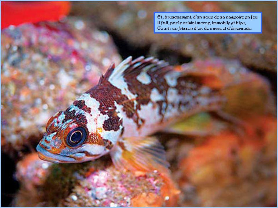 De sa splendide écaille éteignant les émaux, Un grand poisson navigue à travers les rameaux ; Dans l ombre transparente indolemment il rôde ;