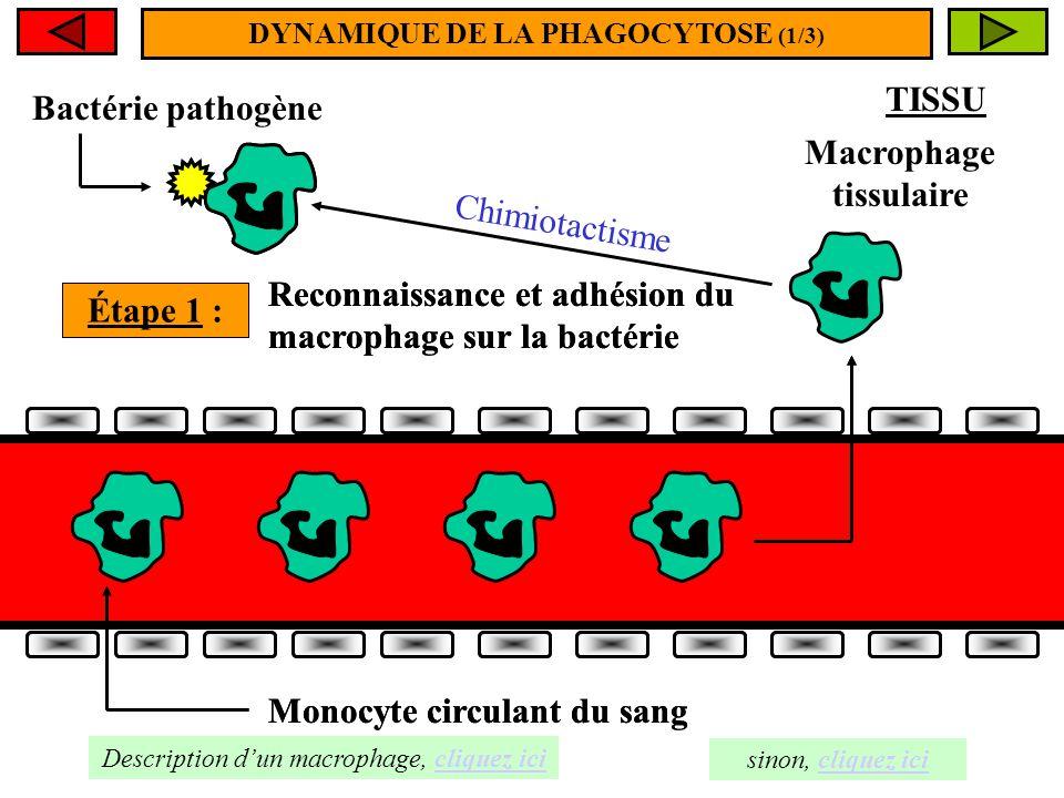 La PHAGOCYTOSE est le mécanisme par lequel certaines particules volumineuses (poussières, goudron, bactéries, cellules cancéreuses, débris cellulaires