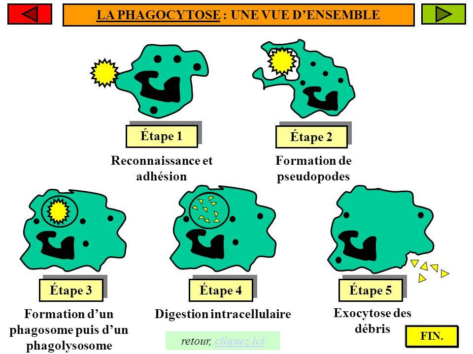 Le microorganisme est détruit par les enzymes hydrolytiques apportées par les lysosomes. Le microorganisme est détruit par les enzymes hydrolytiques a