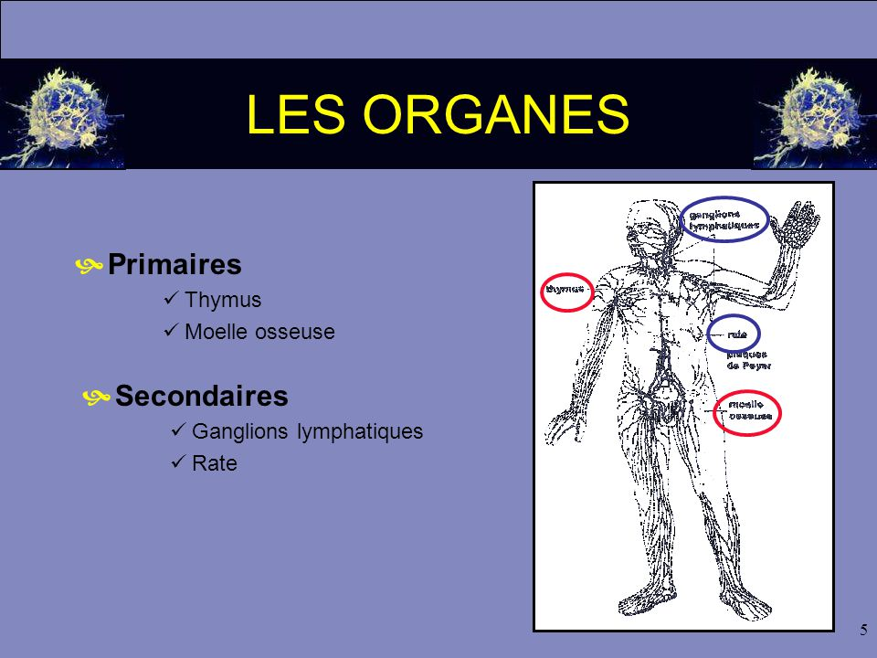5 LES ORGANES  Primaires  Thymus  Moelle osseuse  Secondaires  Ganglions lymphatiques  Rate