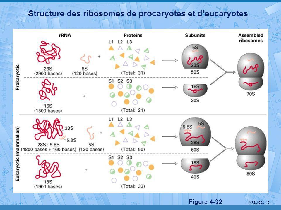 MP220802 10 Structure des ribosomes de procaryotes et d'eucaryotes Figure 4-32