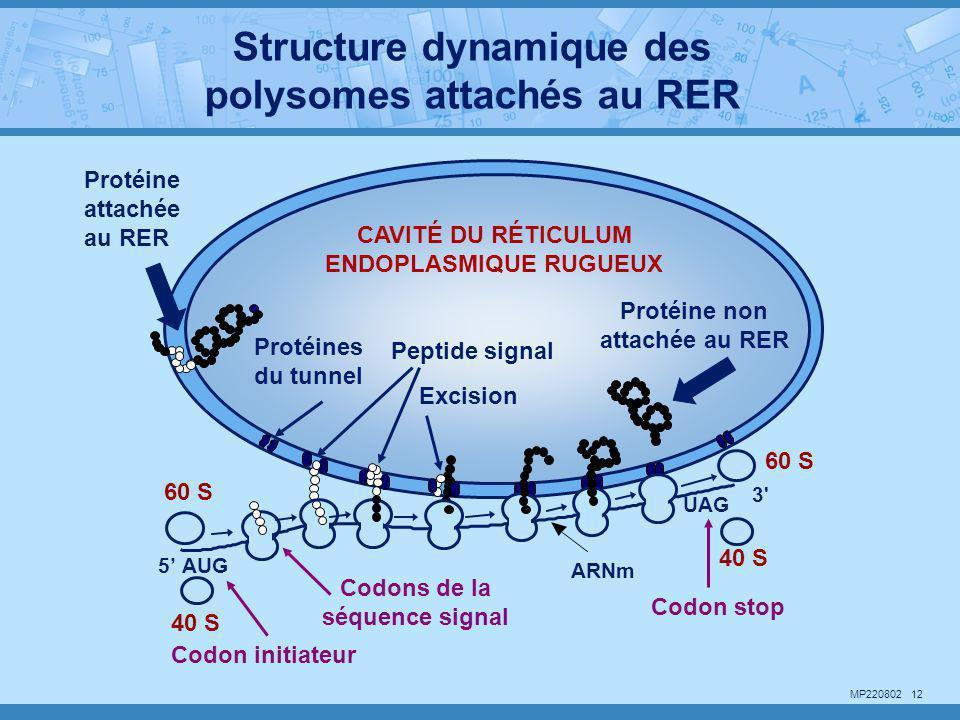 MP220802 12 ARNm 40 S Codon stop 60 S 40 S Codon initiateur UAG 3' CAVITÉ DU RÉTICULUM ENDOPLASMIQUE RUGUEUX 5' AUG Excision Codons de la séquence sig