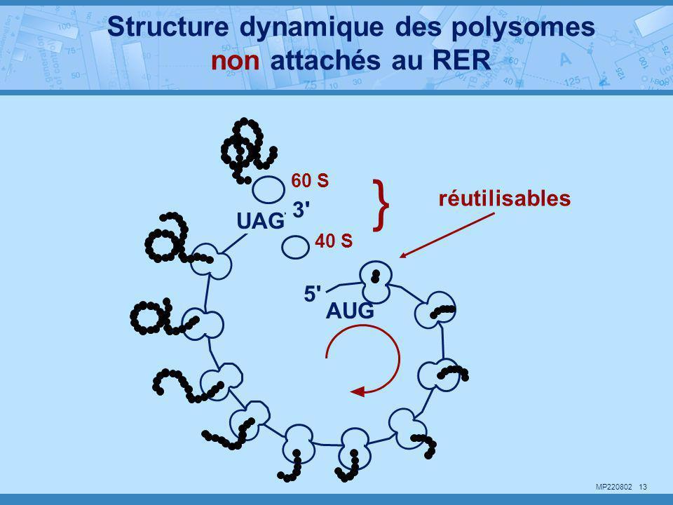 MP220802 13 AUG UAG 60 S 40 S } réutilisables 5' 3' Structure dynamique des polysomes non attachés au RER