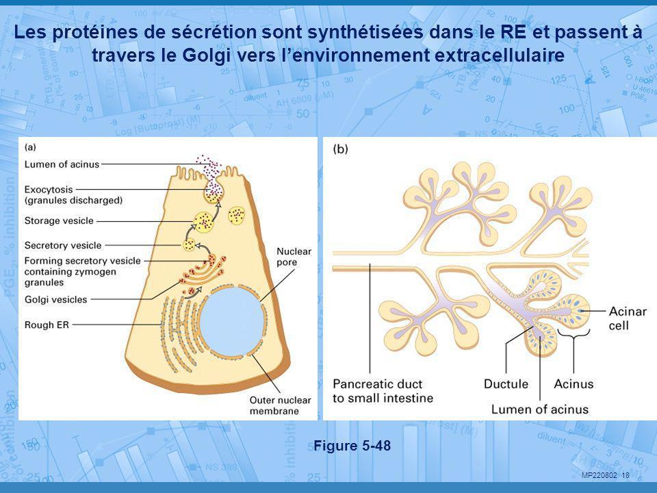 MP220802 18 Les protéines de sécrétion sont synthétisées dans le RE et passent à travers le Golgi vers l'environnement extracellulaire Figure 5-48