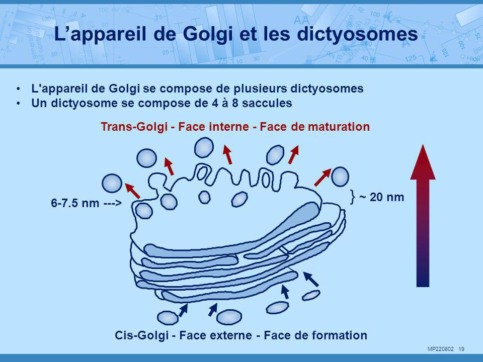 MP220802 19 •L'appareil de Golgi se compose de plusieurs dictyosomes •Un dictyosome se compose de 4 à 8 saccules } ~ 20 nm 6-7.5 nm ---> Cis-Golgi - F
