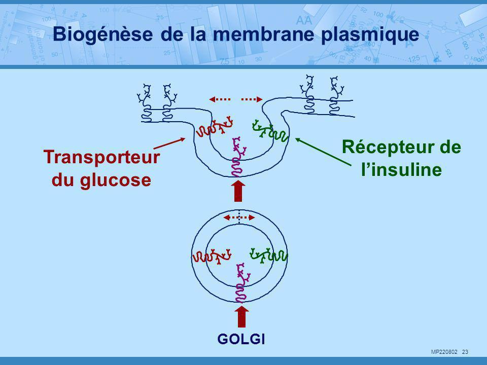 MP220802 23 GOLGI Transporteur du glucose Récepteur de l'insuline Biogénèse de la membrane plasmique