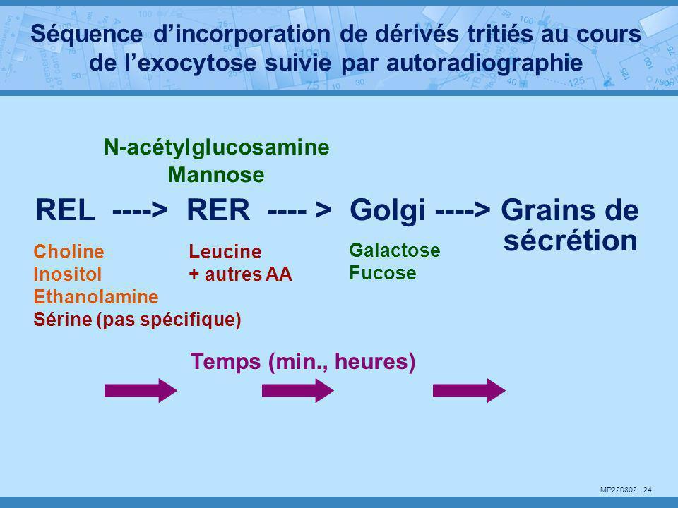 MP220802 24 REL ----> RER ---- > Golgi ----> Grains de sécrétion Choline Inositol Ethanolamine Sérine (pas spécifique) Leucine + autres AA Galactose F