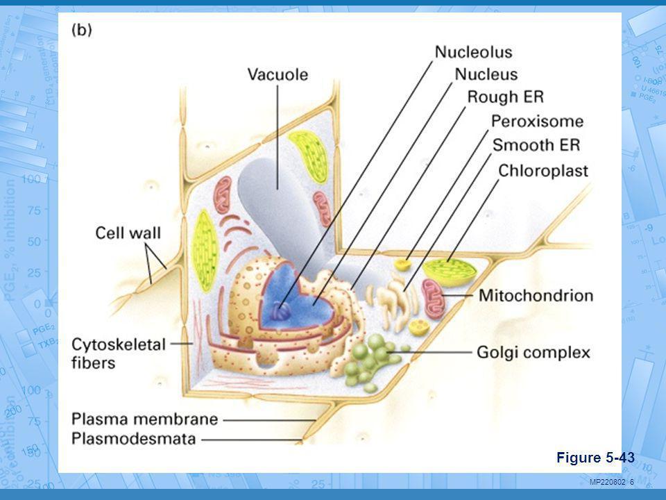 MP220802 17 L'appareil de Golgi •Modifie et trie les produits du RE •Caractéristiques: –Serie de compartiments plats et vésicules –Composé de 3 régions: cis (entré), medial, trans (sortie) –Chaque région contient différentes enzymes Figure 5-49