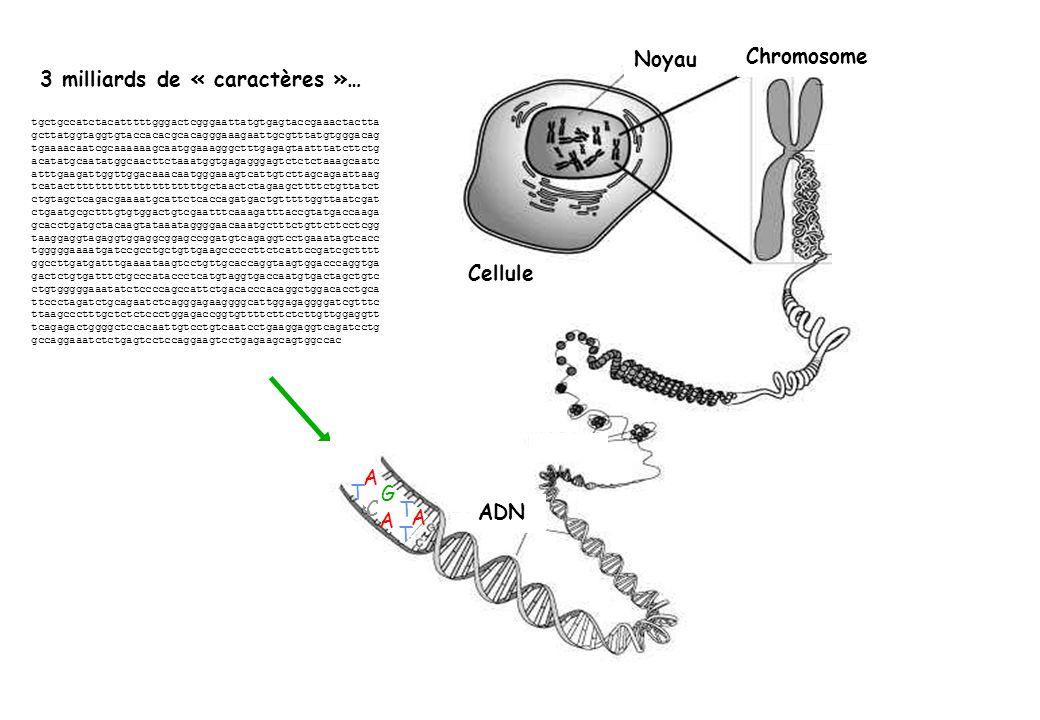 A T G C T A A T Cellule Noyau Chromosome ADN tgctgccatctacatttttgggactcgggaattatgtgagtaccgaaactactta gcttatggtaggtgtaccacacgcacagggaaagaattgcgtttatgtg