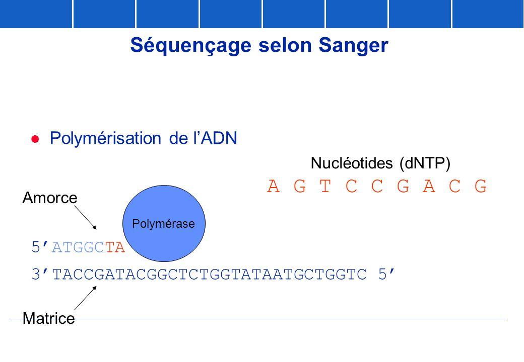 Séquençage selon Sanger  Polymérisation de l'ADN 5'ATGGCTATGCCGAGACCATATTACGACCAG 3' 3'TACCGATACGGCTCTGGTATAATGCTGGTC 5' Matrice A G T C C G A C G Po