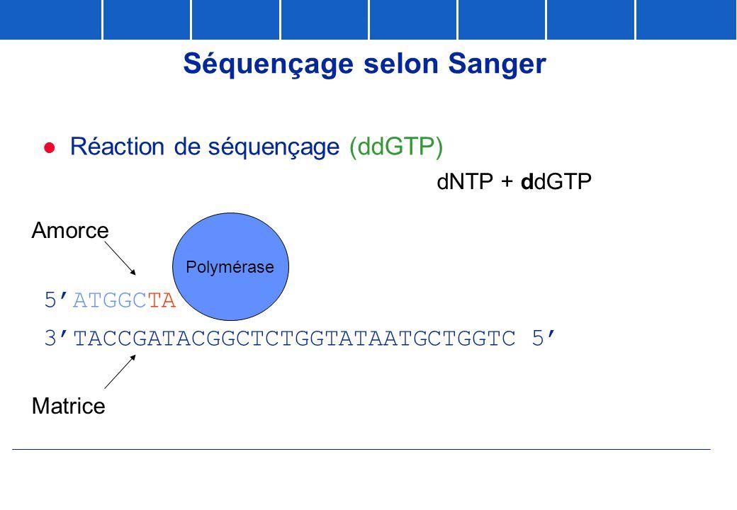 Séquençage selon Sanger  Réaction de séquençage (ddGTP) 5'ATGGCTATGCCGAG 3'TACCGATACGGCTCTGGTATAATGCTGGTC 5' Matrice A G T C G C A C G Polymérase Amo