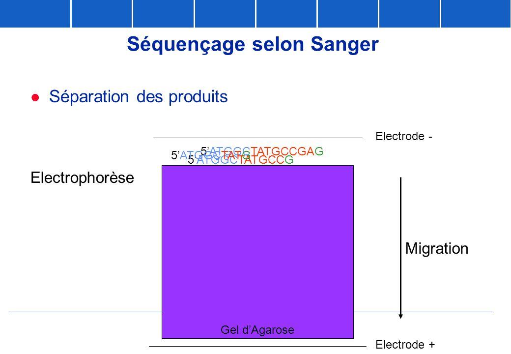 Gel d'Agarose Séquençage selon Sanger  Séparation des produits 5'ATGGCTATGCCGAG 5'ATGGCTATGCCG 5'ATGGCTATG Electrode - Electrode + Migration Electrop