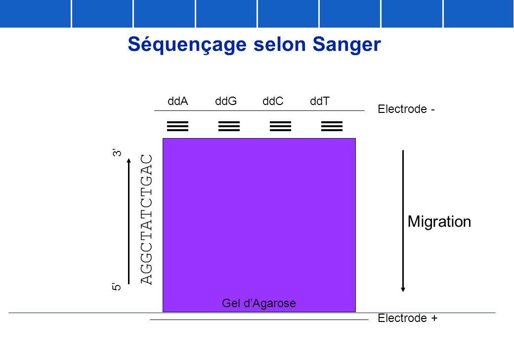 Séquençage selon Sanger Gel d'Agarose Migration Electrode - Electrode + ddAddGddCddT AGGCTATCTGAC 5' 3'
