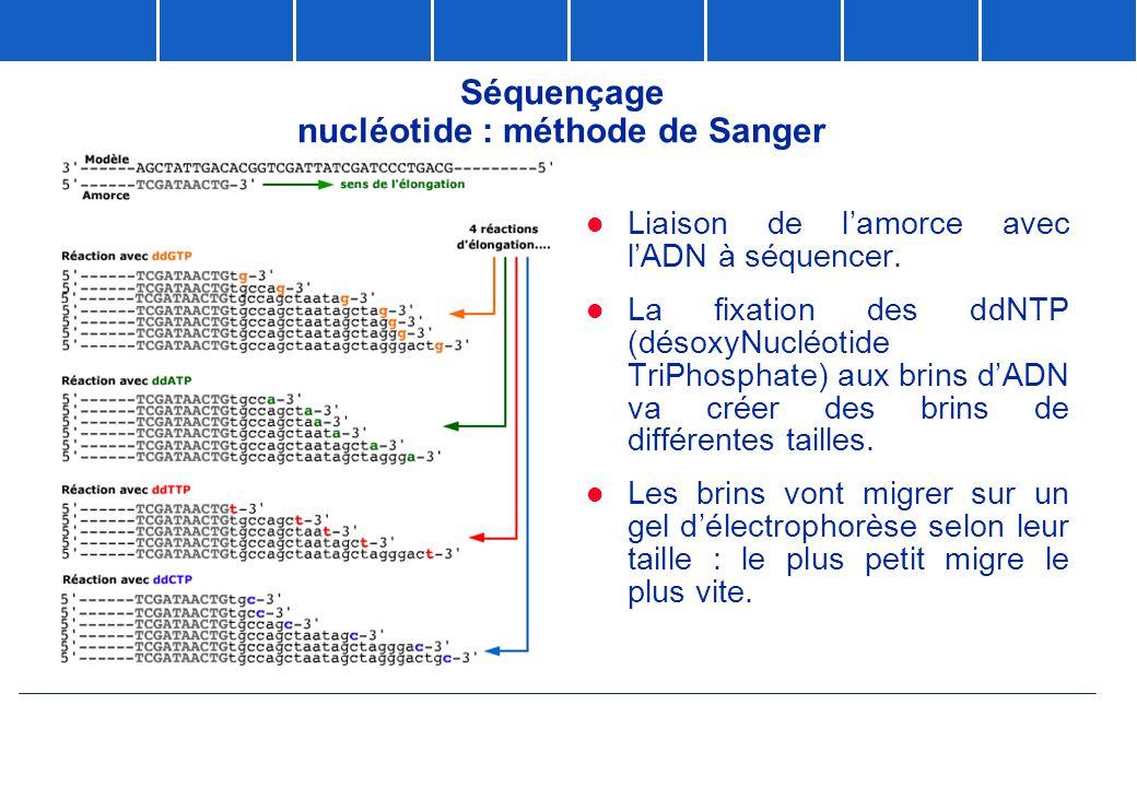 Séquençage nucléotide : méthode de Sanger  Liaison de l'amorce avec l'ADN à séquencer.  La fixation des ddNTP (désoxyNucléotide TriPhosphate) aux br