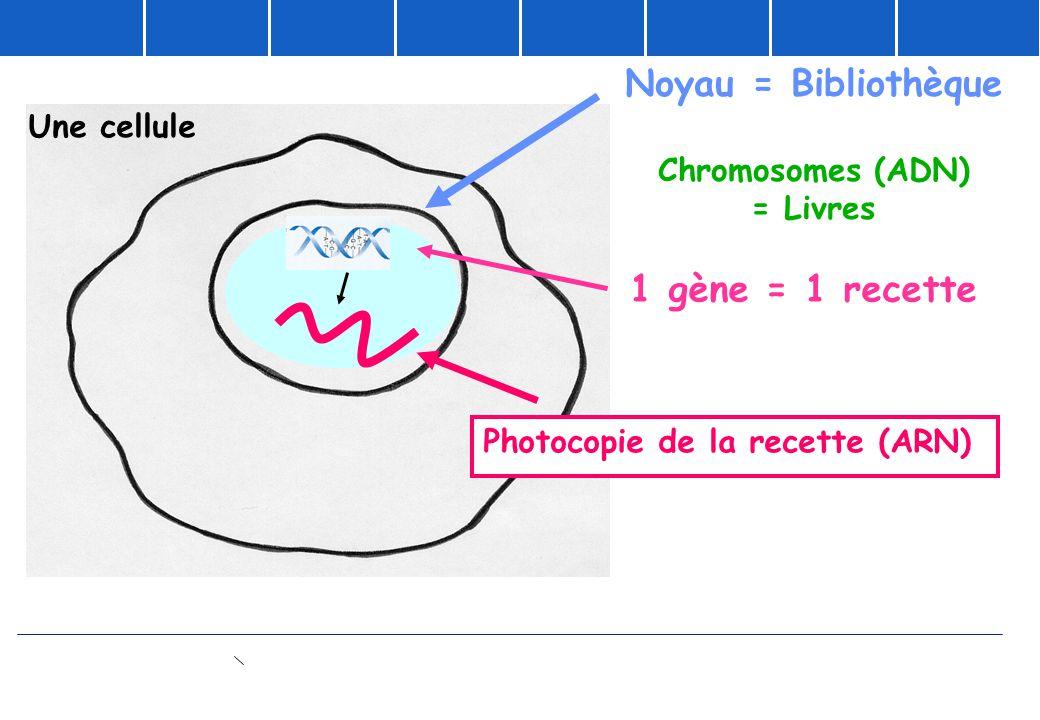Noyau = Bibliothèque Chromosomes (ADN) = Livres 1 gène = 1 recette Photocopie de la recette (ARN) Une cellule