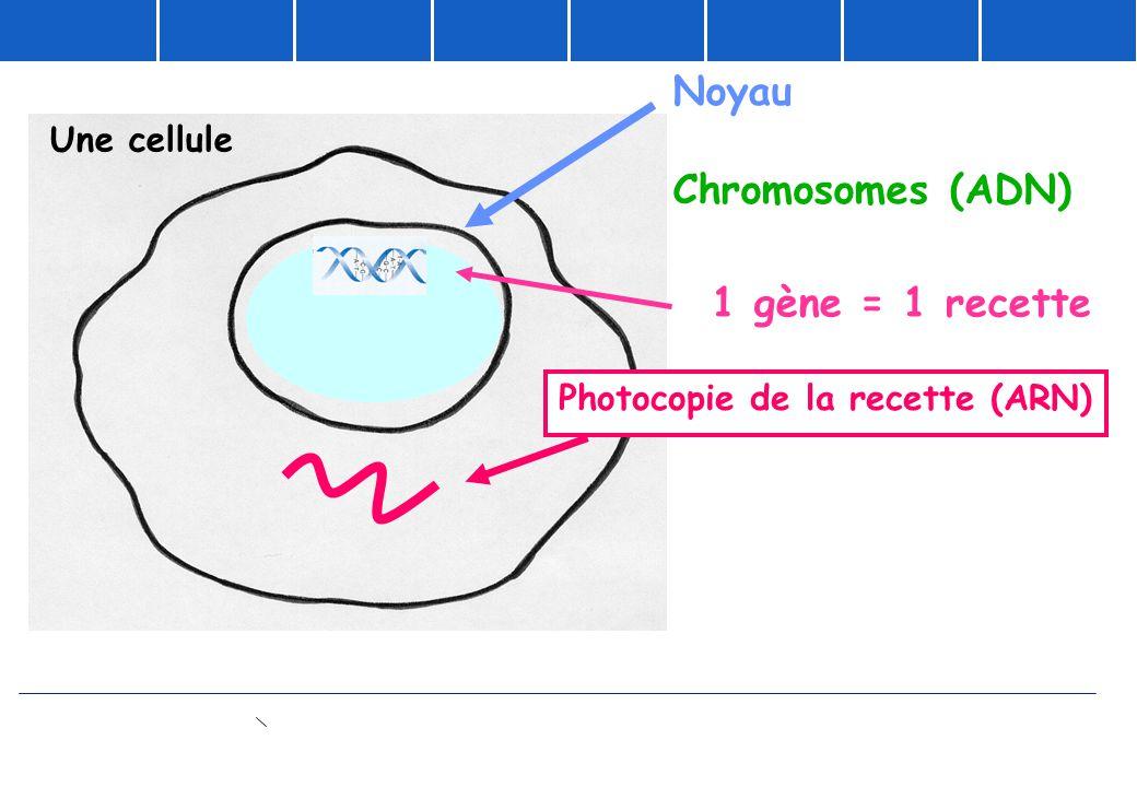 Noyau Chromosomes (ADN) 1 gène = 1 recette Photocopie de la recette (ARN) Une cellule