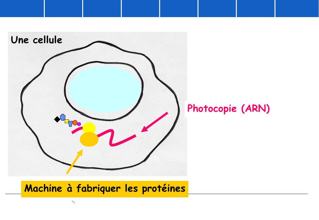 Photocopie (ARN) Machine à fabriquer les protéines Une cellule