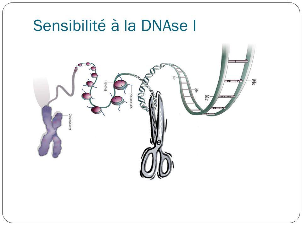 Sensibilité à la DNAse I