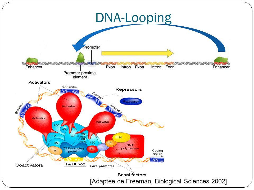 DNA-Looping [Adaptée de Freeman, Biological Sciences 2002]