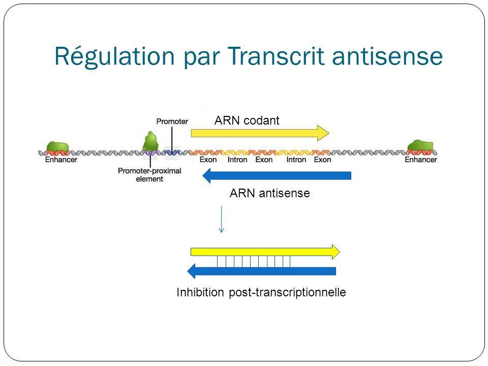 Régulation par Transcrit antisense ARN codant ARN antisense Inhibition post-transcriptionnelle