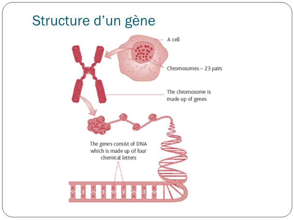 Structure d'un gène