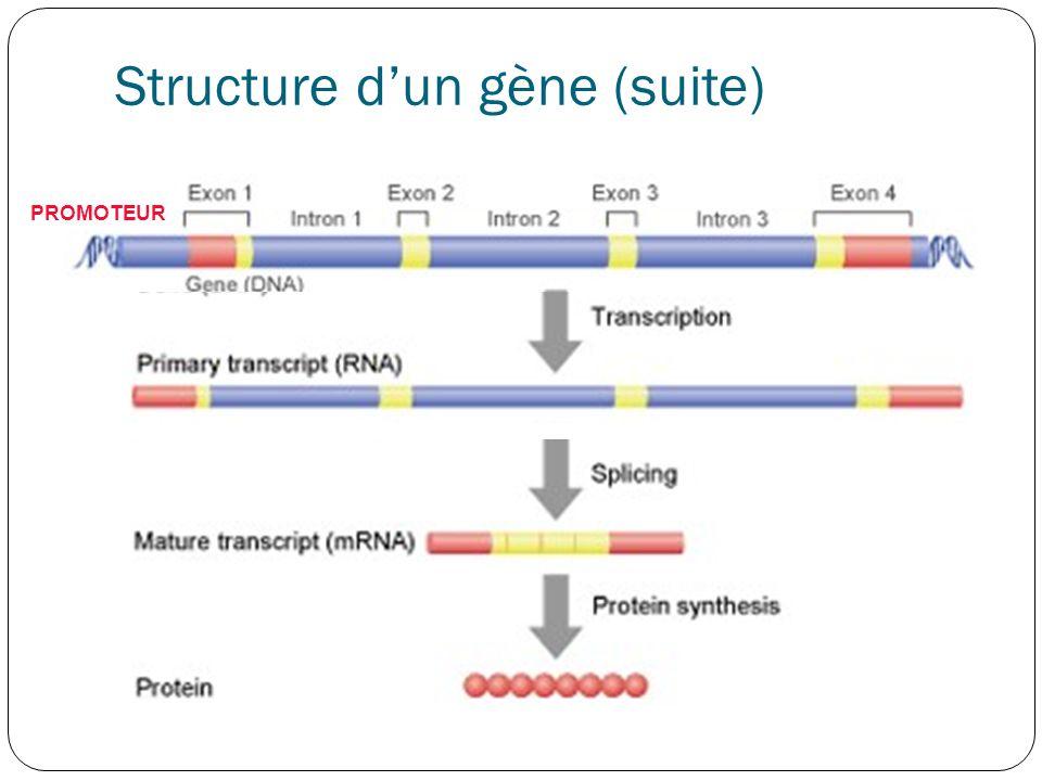Structure d'un gène (suite) 1kb en amont du début de site de la transcription