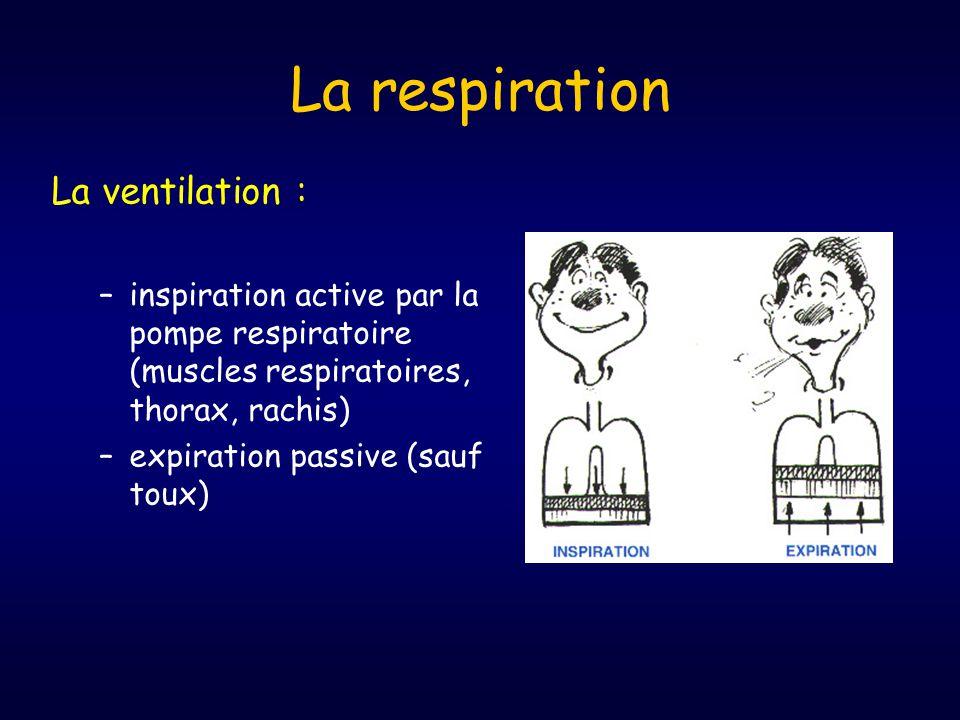 La respiration La ventilation : –inspiration active par la pompe respiratoire (muscles respiratoires, thorax, rachis) –expiration passive (sauf toux)