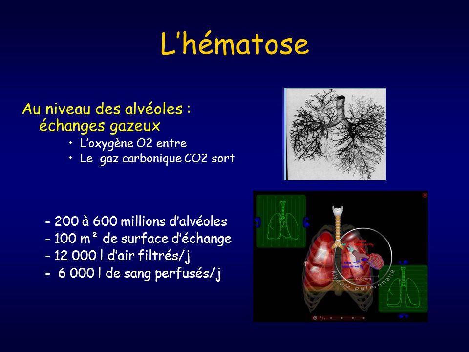 L'hématose Au niveau des alvéoles : échanges gazeux •L'oxygène O2 entre •Le gaz carbonique CO2 sort - 200 à 600 millions d'alvéoles - 100 m² de surface d'échange - 12 000 l d'air filtrés/j - 6 000 l de sang perfusés/j