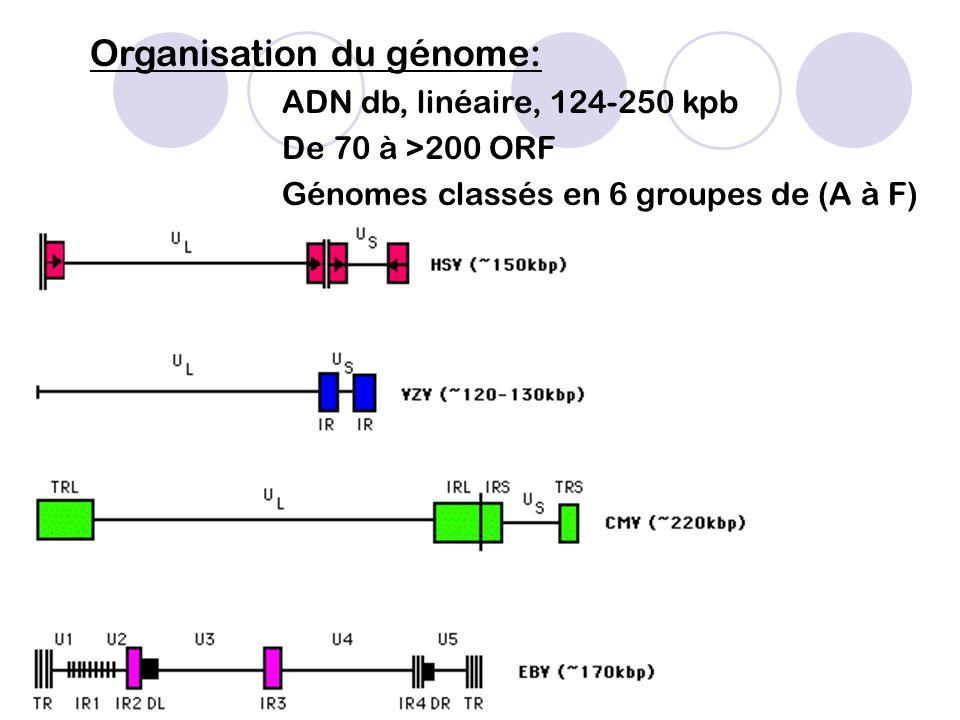 Cycle de Multiplication virale:  Dans le noyau de la cellule hôte,  Infection latente ou productive,  Circularisation de l'ADN,  Cycle lytique :3 phases séquentielles d'expression protéique: -Protéines précoces ( , ie) - Protéines intermédiaires ( , e) - Protéines tardives ( , l) puis bourgeonnement des virions depuis feuillet interne de l'enveloppe nucléaire et du Golgi puis en surface cellulaire.