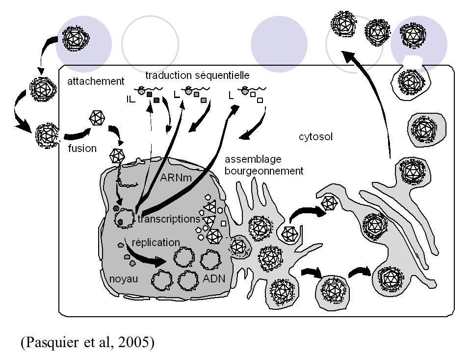Propriétés biologiques  Généralités:  Spectre d'hôte naturel étroit  Virions assez fragiles mais culture in vitro aisée  Modalités de transmission diverses (cellules infectées, virions libres ou aérosols); porte d'entrée muqueuse (oro-nasale, génitale et oropharynx)  Tropisme varié  Excellente adaptation à l'hôte naturel:  Infections rarement létales,  latence définitive dans un type cellulaire donné avec excrétions lors de réactivations (si clinique: récurrence).